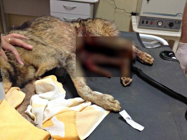 cachorro foi castrado com faca por homem de 54 anos (Foto: Luciana Souza/ Arquivo pessoal )
