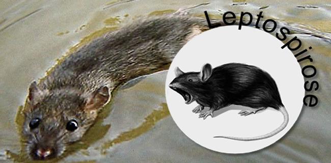 Enchentes aumentam risco de leptospirose
